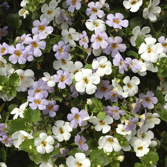 Bacopa Topia Mixed