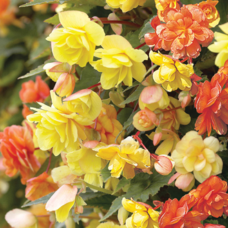 Begonia Illumination Apricot Shades F1