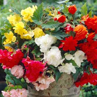 Begonia Pendula Mixed