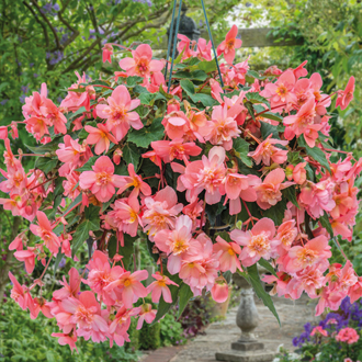 Begonia Sweet Coral Cascade™