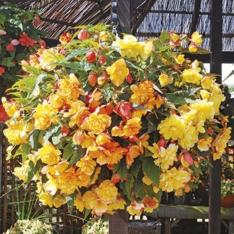Begonia Illumination Apricot Shades F1