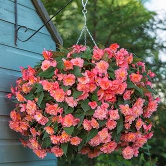 Begonia Sweet Spice Bounty
