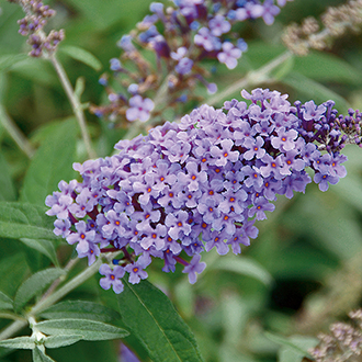Buddleja davidii Buzz Lavender