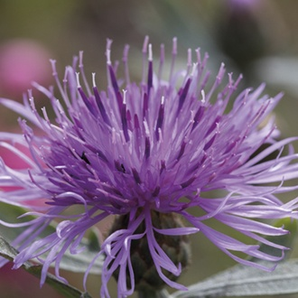 Centaurea Silver Feather Potted Plant