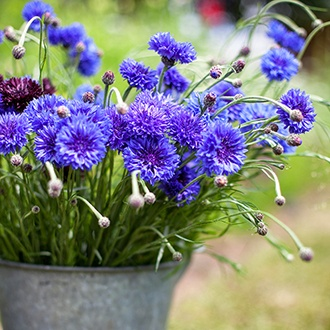 Centaurea Blue Boy