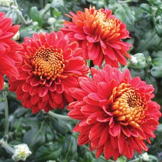 Chrysanthemum 'Pennine Port'