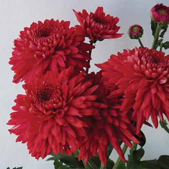 Chrysanthemum 'Gompie Red'
