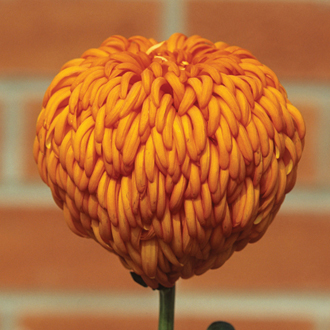 Chrysanthemum Laser (Late)