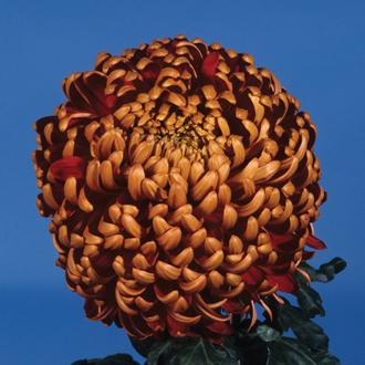 Chrysanthemum 'Beacon'
