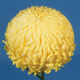 Chrysanthemum 'John Hughes Yellow' (Early)