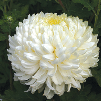 Chrysanthemum Billy Bell