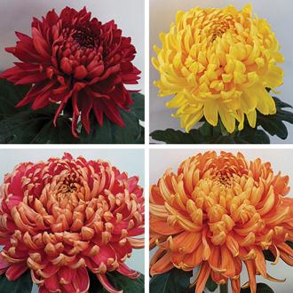 Chrysanthemum Hogmanay Collection
