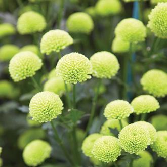 Chrysanthemum 'Froggy Green' (PBR)