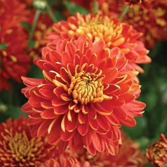 Chrysanthemum Spartan Fire
