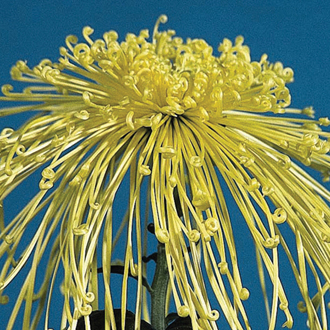 Chrysanthemum Golden Rain (Late)