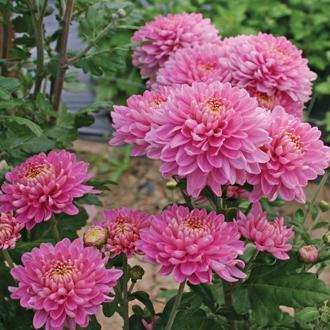 Chrysanthemum 'Pennine Jane'