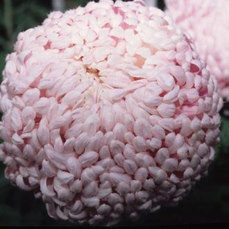 Chrysanthemum 'Lilac Chessington'