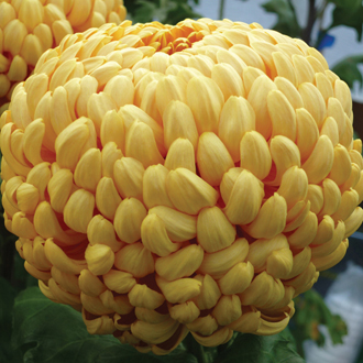 Chrysanthemum Squires Lock