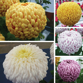 Chrysanthemum Regency Collection