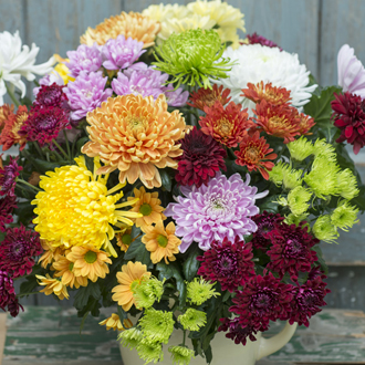 Chrysanthemum Cut Flower Bloom and Spray Collection