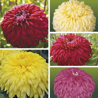 Chrysanthemum Exmoor Collection