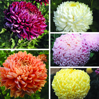 Chrysanthemum Dartmoor Collection