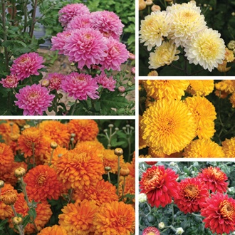 Chrysanthemum Pennine Collection