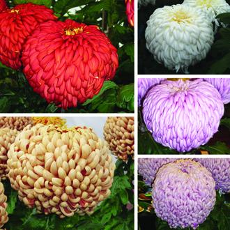 Chrysanthemum Exhibitors Collection