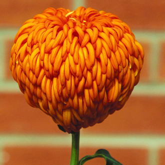 Chrysanthemum 'Laser'