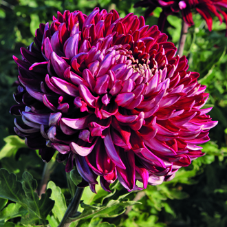 Chrysanthemum Barnardo's Hope