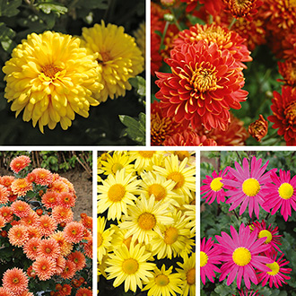 Chrysanthemum Garden Hardy Collection