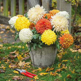 Chrysanthemum Autumn Bloom Collection