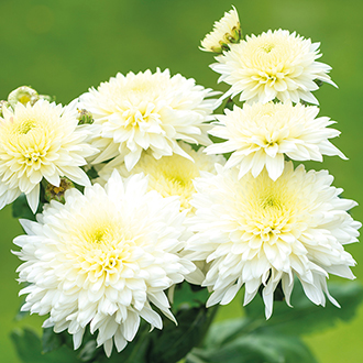 Chrysanthemum Gompie White