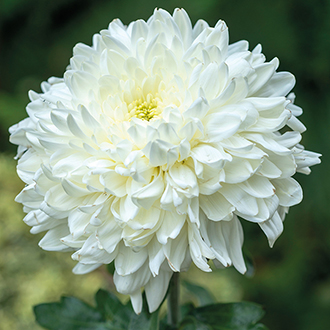 Chrysanthemum Ja Dank (Early)
