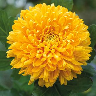 Chrysanthemum Astro Golden Early Woolmans