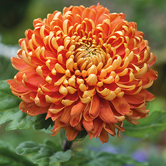 Chrysanthemum Astro Dark