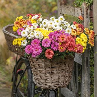 Chrysanthemum Beppie Collection