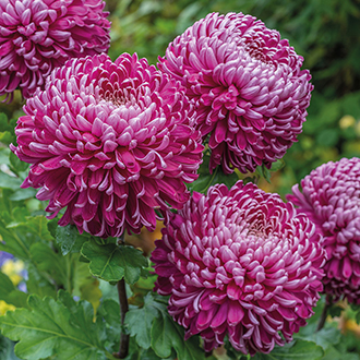 Chrysanthemum 'Regal Mist Purple'