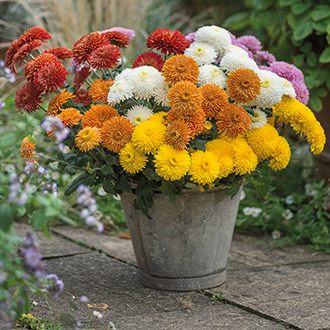 The Margaret Chrysanthemum Collection