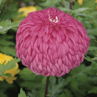 Chrysanthemum 'Amy Lauren' (Late)