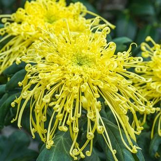 Chrysanthemum Golden Rain