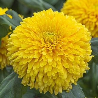 Chrysanthemum Laser