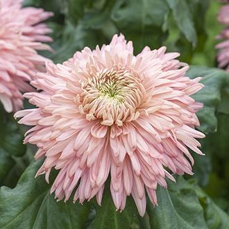 Chrysanthemum Festival Collection