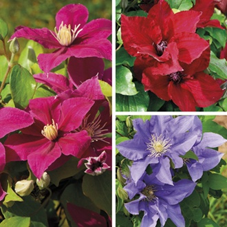 Clematis Boulevard® Collection