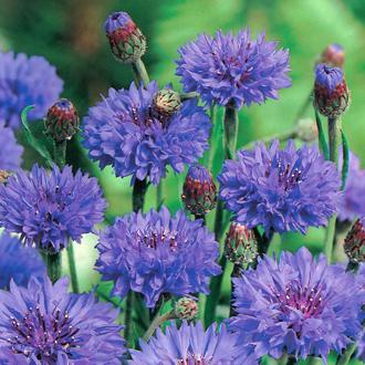 Centaurea Florence Blue