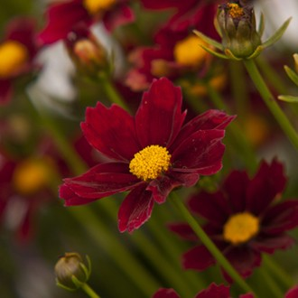 Coreopsis Little Bang Red Elf