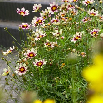 Coreopsis Red Shift