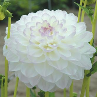Dahlia Eveline plant