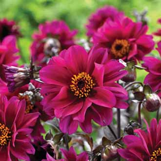 Dahlia Bishop Of Canterbury tuber