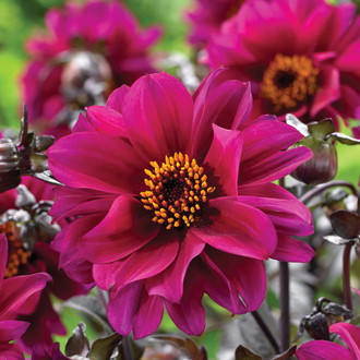 Dahlia Bishop of Canterbury plant